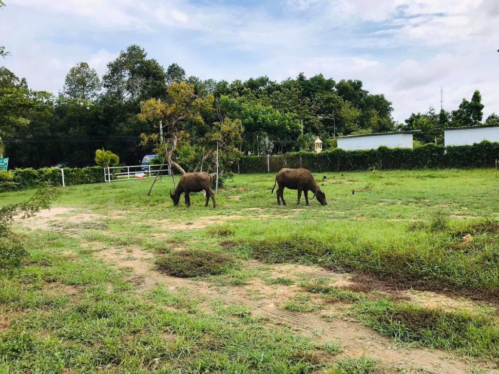 Farm in C-Coffee  แนวเกษตรอินทรีย์   ระยอง น้องควายคู่หู