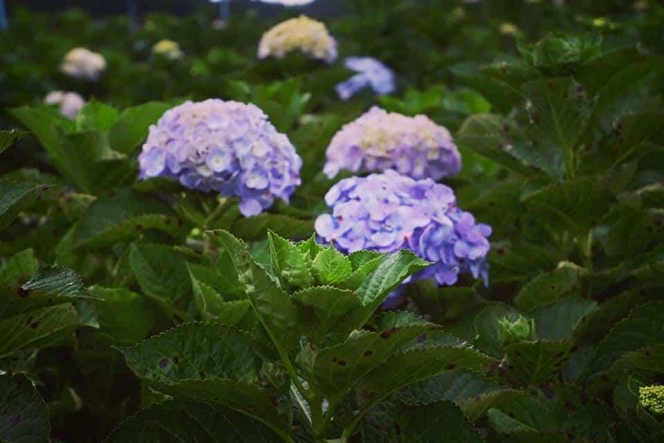 ทุ่งไฮเดรนเยียอินทนนท์ สวนคุณทองดี ดอกไม้เบ่งบานกลางเขา