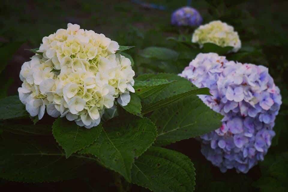 ทุ่งไฮเดรนเยียอินทนนท์ สวนคุณทองดี ยินดีต้อนรับนักท่องเที่ยวทุกท่าน