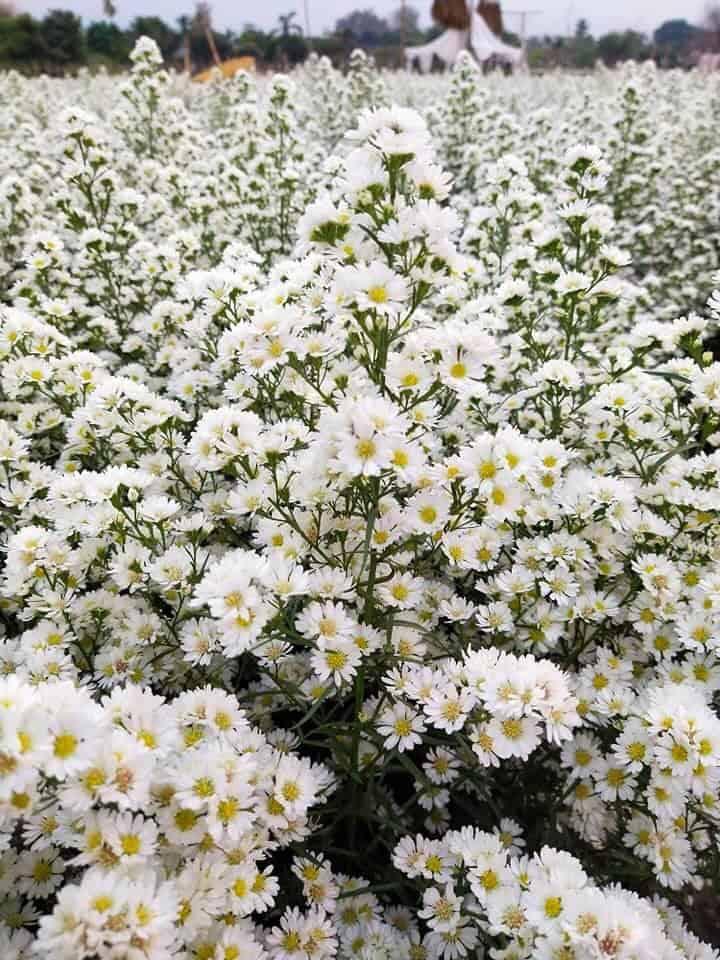 แปลงดอกคัสเตอร์สีขาว สวนลุงรน