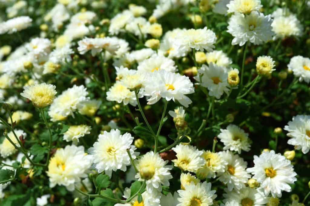 ทุ่งดอกเก็กฮวย สะเมิง ใครอยากชมต้องรีบไปดูช่วงปลายปี