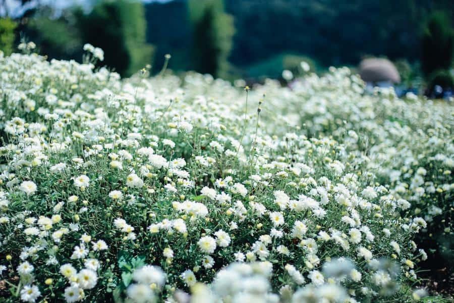 ทุ่งดอกเก็กฮวย สะเมิง สวยขนาดนี้ต้องไปชมด้วยตาแล้วล่ะ