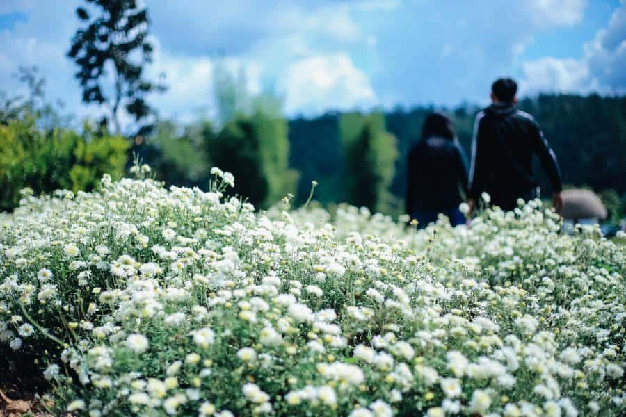 ทุ่งดอกเก็กฮวย สะเมิง ดอกไม้ก็สวย อากาศก็ดี