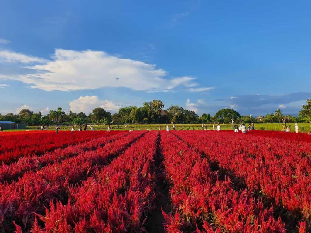 I LOVE FLOWER FARM ทุ่งดอกไม้สีแดง (ดอกซีโลเซียสีแดง)
