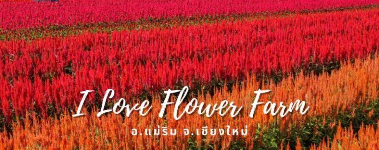 I LOVE FLOWER FARM ทุ่งดอกไม้สวยที่เชียงใหม่