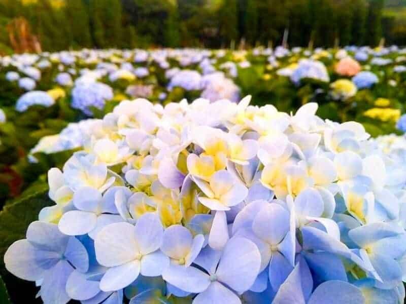 จุดเด่นที่ไม่ควรมองข้ามของทุ่งดอกไฮเดรนเยีย(โครงการหลวงขุนแปะ)