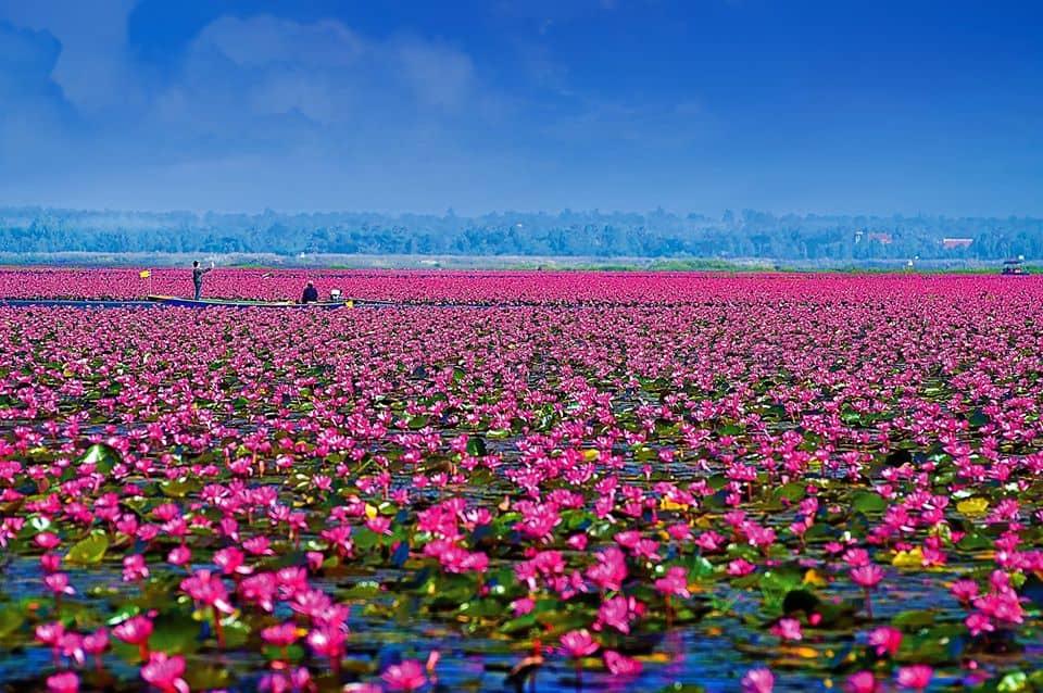ความงดงามของ ทะเลบัวแดง