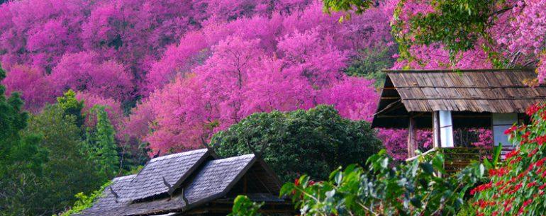 ชากุระเมืองไทย